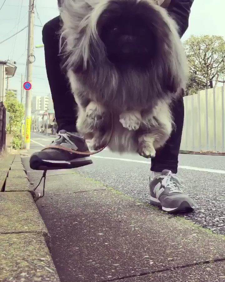 三連休にワクワクして免疫を上げて行こう❗️by wom #pekingese #dog #ペキニーズ #ウォンチビ #宮田和弥 #ジュンスカ