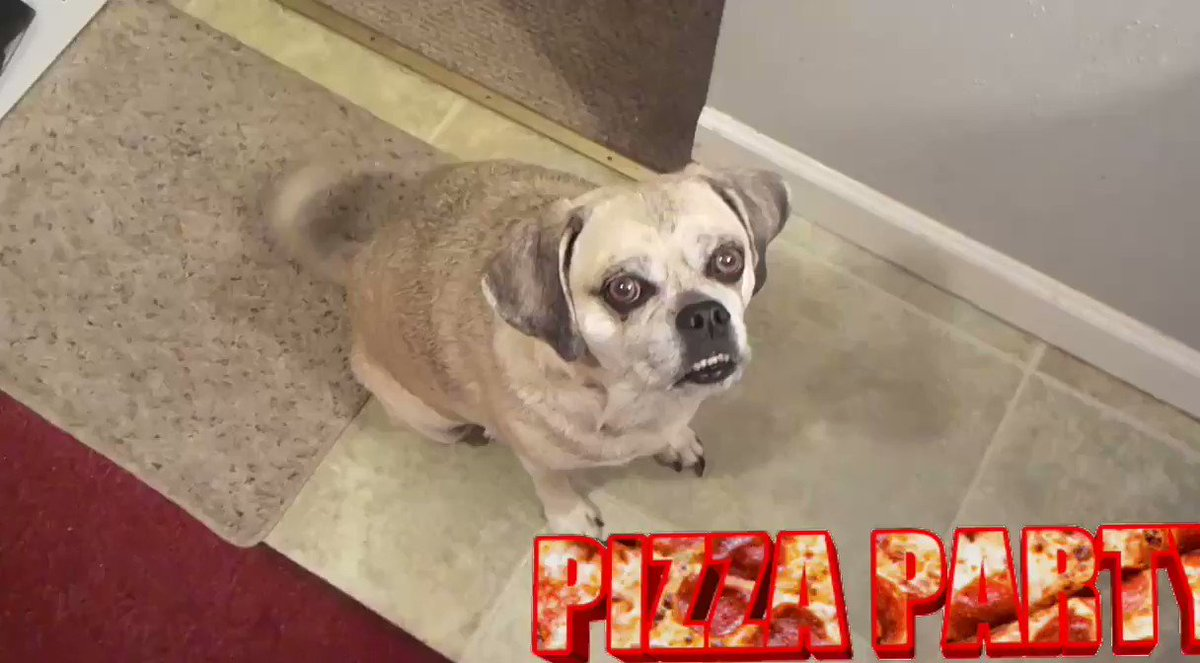 #ZSHQ 🍕Meatball Patrol🍕 Mom gets Meatballs on our 🍕Pizza🍕 cause Fursis Jinx can't have🌾Gwain🌾and Mommy doesn't want her to miss out on da 🎉Pizza🍕Pawty🍕Experience 🎉 🎈!!YAY!!🎈 #FridayVibes #FridayFun #dinnertime #weekendmode #pizza #meatballs #dogs #dogsoftwitter #Dog