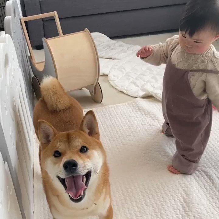 娘がよく笑ってくれるのは柴犬兄さんの存在が大きいんだとつくづく思ったりします(*´ω`*)