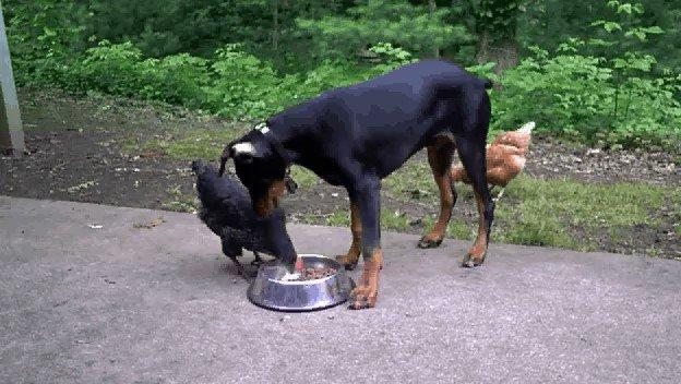 Sweet #Doberman #Puppy Vs #Chickens :) #F4F IFB