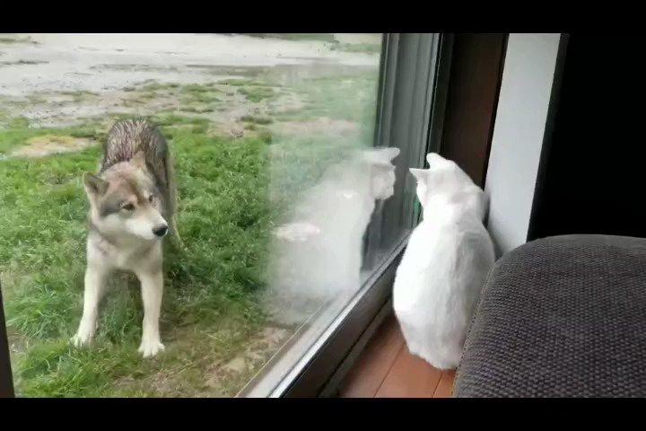 ネコチャンを誘うオオカミ犬#狼犬 #wolfdog