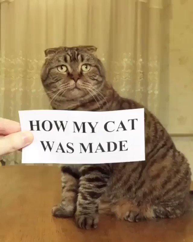 How my cat was made ⠀ ⠀ 🎥@cat_triad⠀ ⠀ #meowed #scottishfold #scottishfoldcat #scottishstraight ( #📷 @meowed )  #pawnbone #pawnbones #petsinportraits #petstagrams #cats  #catlover #catstagram #instacat #kitty #catsofinstagram