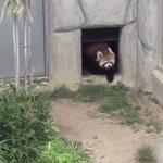 何度見ても飽きない可愛さ!岩にびっくりして威嚇しちゃうレッサーパンダの癒し動画!