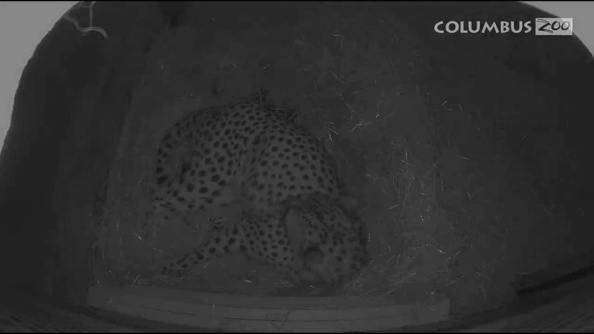 First cheetahs born through in vitro fertilization to surrogate mom