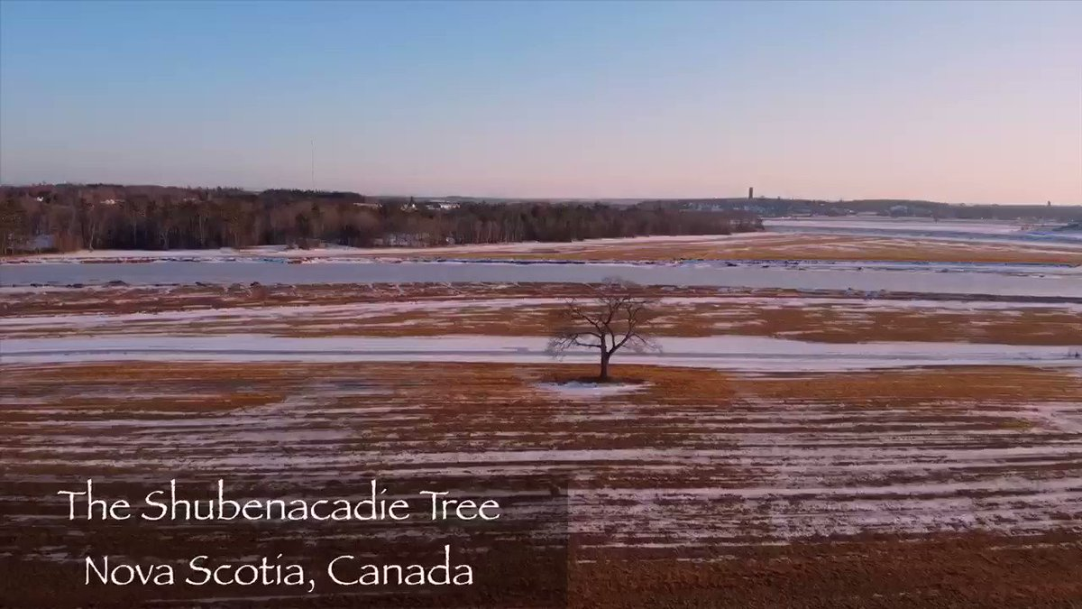 #shubenacadietree Driving back to Halifax tonight and saw a great opportunity to get this famous #novascotia tree in a beautiful #winter #sunset