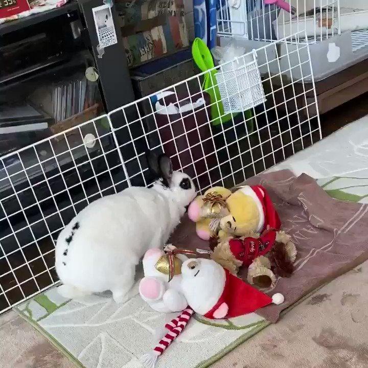 ワタチうさぎのハッピーでちゅ🐇お腹が空いて美味しそうな人参を見っ〜け!な〜んだ食べられないのか〜見渡してもな〜んにもないし、ワタチのお部屋に戻りまちゅ。ほなまたねw🐰 #うさぎのハッピーちゃん #rabbit  #happy  #ドワーフレッキス #duraflex  #お転婆娘 #可愛い #水木一郎