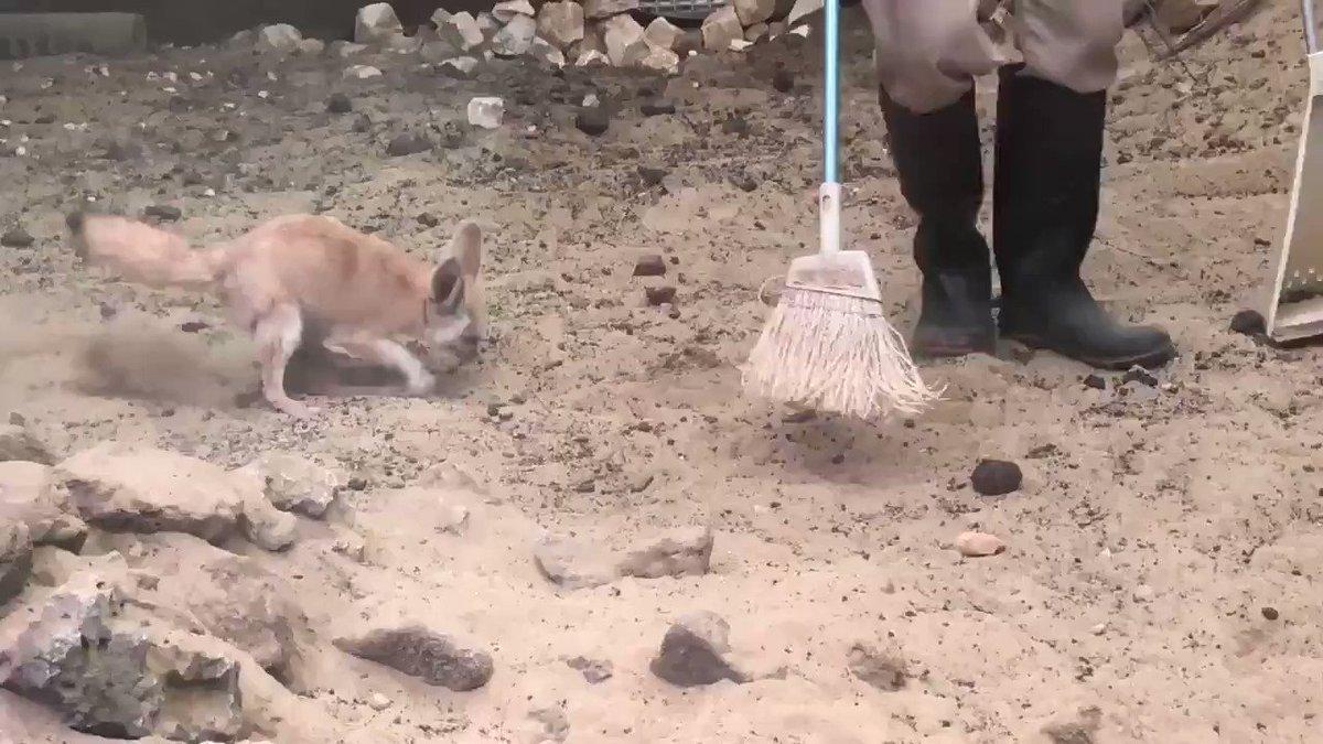 🦊「うおおおおおお!!!!」猛烈な勢いで飼育員さんの掃除を手伝う(?)フェネックがかわいい -  @itm_nlabzoo