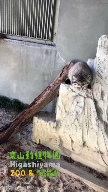 まだまだ猫の日の余韻が抜けない皆さまへ。このしっぽ、お届けします♡#東山動植物園 #マヌルネコ #レフ #動物園 #zoo #动物园 #동물원 #名古屋市 #Nagoyacity