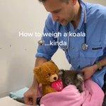 クマのぬいぐるみを必死につかんでいる、コアラの子どもがカワイイ!