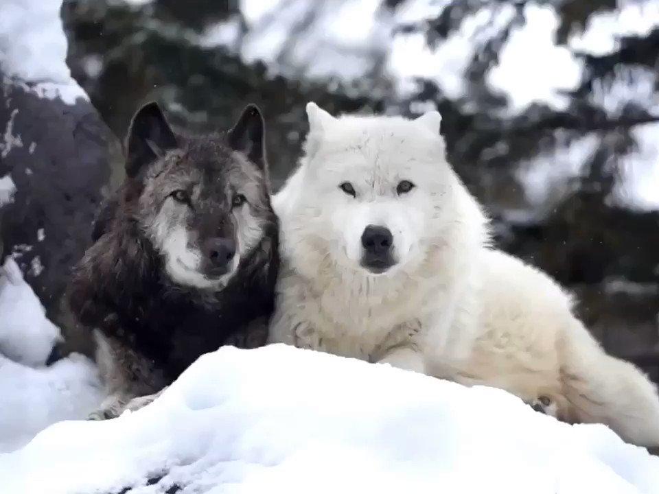 旭山動物園のシンリンオオカミのケン&マース。マースがαメスでなくなっても、ケンのマースへの愛情は変わらないようです。長年連れ添ったマースに優しい眼差しを向け、愛おしそうに匂いを嗅いでました。 #シンリンオオカミ #オオカミ #旭山動物園