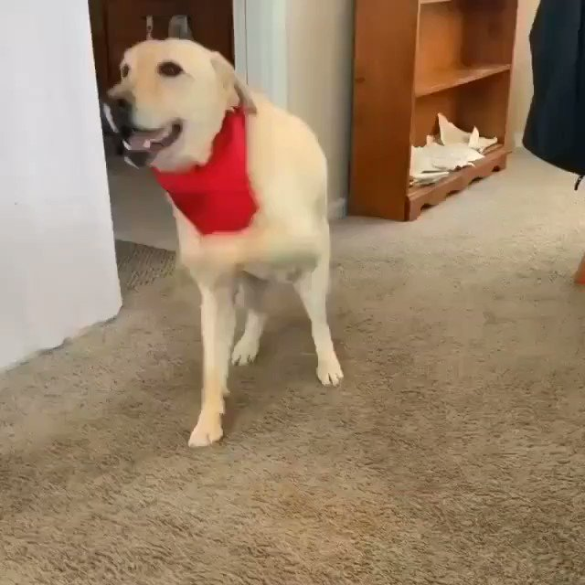 Got a new red bandana-- time to dance... I'm so excited (Stevie_thewonderdog IG)