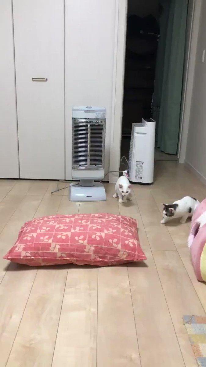大きいクッションを警戒しすぎる猫ちゃんズ😹@necochuchuさんから