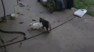うさぎを追いかけるにゃんこ #癒し #cat