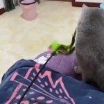 わざとじゃないのに…。猫じゃらしに飛び付いた猫が滅多打ち!