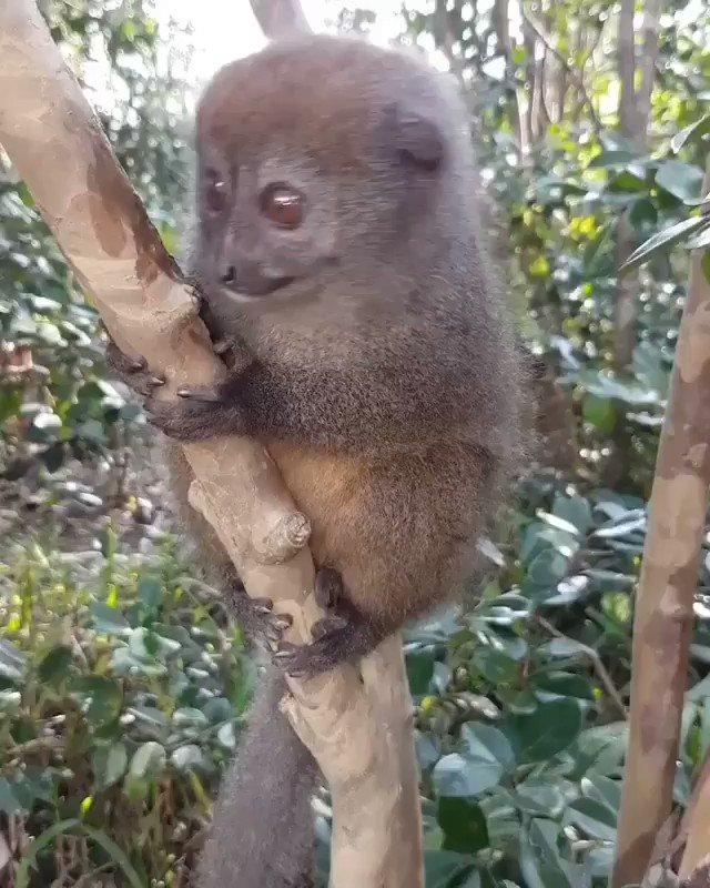 Non è adorabile? #Madagascar #lemur #animal #nature #naturevideo #animalvideo #sweet #visitafrica #discovermadagascar  @bbcatoledo @Earths_scenery @IleMadagascar @Lemurland @Madatsara @visitmadagascar @PresidenceMada @backt0nature @natureslover_s @2_cuori @Earths_scenery