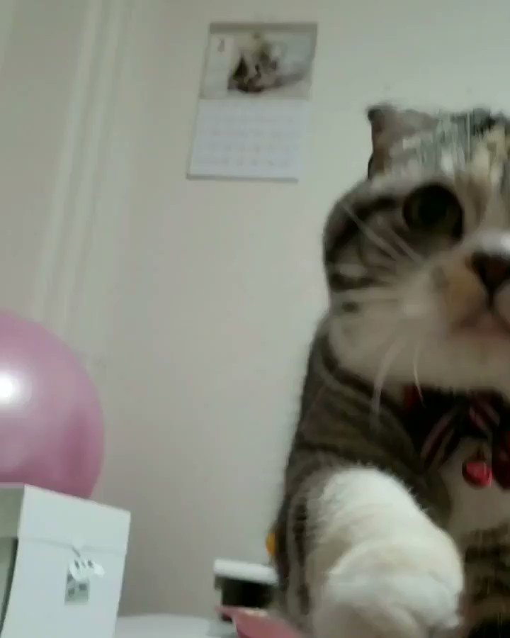#ちゅーる#いくら #うに #スコティッシュフォールド #スコティッシュ #パステル三毛 #ねこ部 #ねこら部  #ペコねこ部  #みんねこ  #cat  #ねこ #猫 #ネコ #親バカ #instagood  #photooftheday  #happy  #cute  #followers of #nekoclub #family