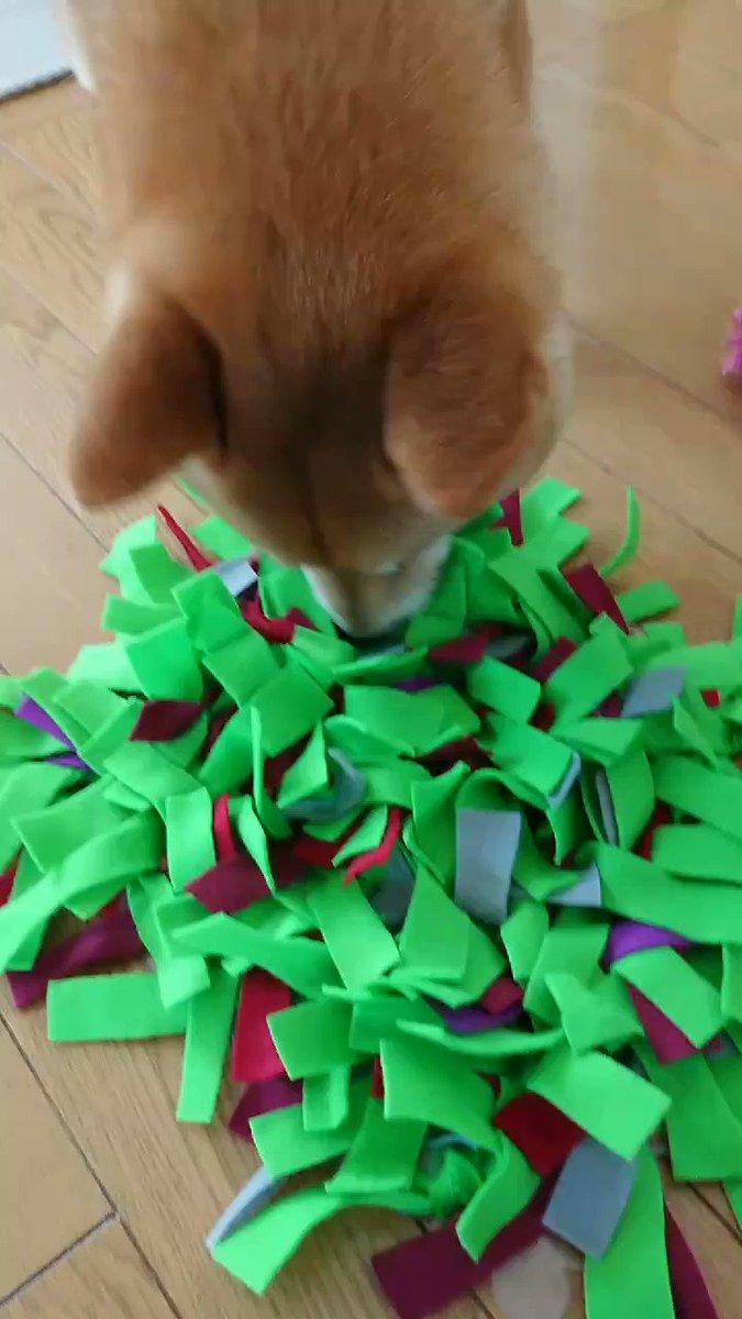 柴ちゃの おもちゃ 柴ちゃの おもちゃ チャチャチャ 柴ちゃの お も ちゃ  ~その2~ #ノーズワーク #柴犬 #柴ちゃ #shibainupic.twitter.com/96Tkgd0WuD