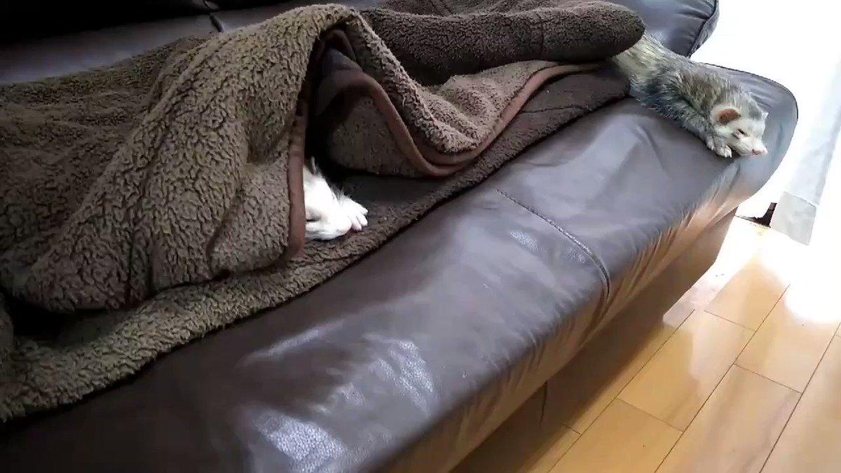 雨の土曜日。  のんびりとした午前中のひととき。  このあと、大嫌いなシャンプーが待っているのも知らずに……  #フェレット #のんびり #でもシャンプー大嫌いpic.twitter.com/vmxqU76QGb