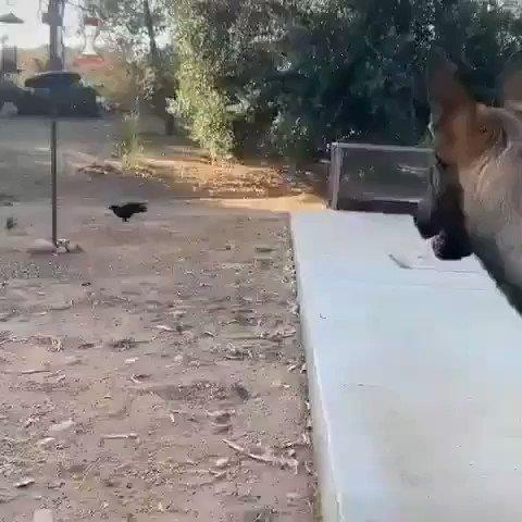 صداقة عجيبة جمعت بين الكلب والغراب ...