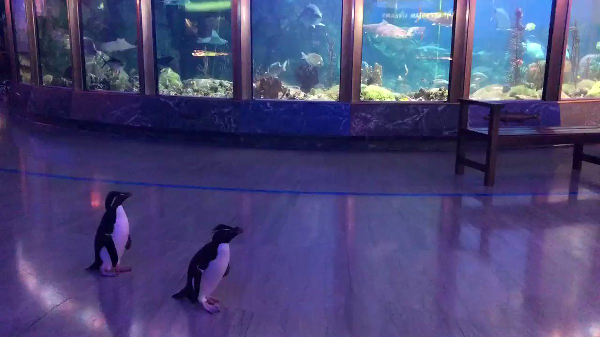 The adventure continues! 🐧🐧 This morning, Edward and Annie explored Shedd's rotunda. They are a bonded pair of rockhopper penguins, which means they are together for nesting season. Springtime is nesting season for penguins at Shedd, and this year is no different! (1/3) 👇