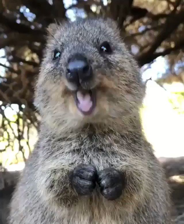 Un petit Quokka uuultra mignon 🥰🥰 #animaux #nature Crédit Vidéo IG : Cruzysuzy