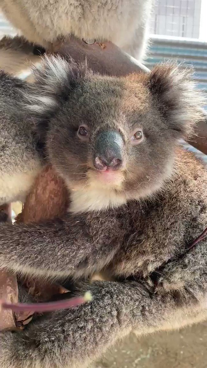 I hope this can relieve 10 seconds of anxiety from your day and if you need more, just go to the media section of my account and get lost in koala goodness for a while ❤️. #FlattenTheCurve #SocialDistancing  #Covid_19