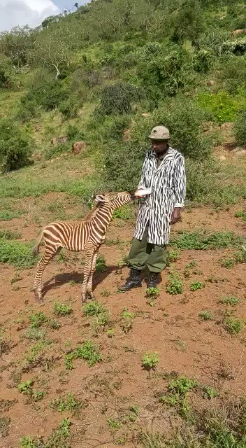 Orphan zebra Diria enjoys a bottle feed from his 'mum'. His caregivers don a specially-made striped coat which allows him to naturally imprint, all the while ensuring a roster of people can act as his surrogate mum & give this fragile foal the best chance of survival possible.
