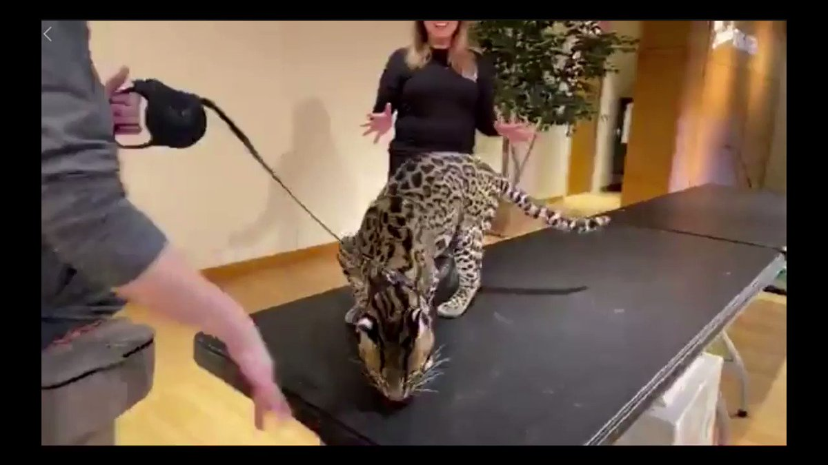 Today's Home Safari from @CincinnatiZoo is Sihil the ocelot! Check it out 👉facebook.com/cincinnatizoo/…