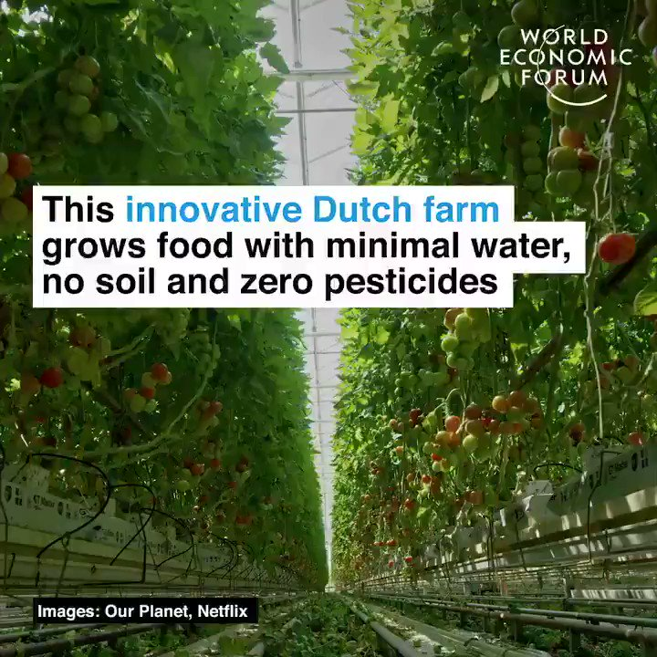 This Dutch farm produces more food but uses no soil and 95% less water TY @wef via @enricomolinari #climatechange #AI #IoT #renewables #fintech #data #tech @names_ai @carole_twitt @digitalked @Blockchain_exp @kimadele10 @DavidGGouin @2basetech @DejanMadjoski @RagusoSergio @efipm