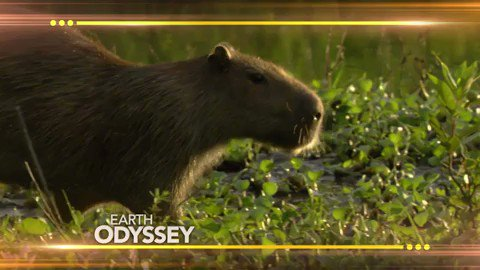 This is the largest rodent in the world! Any guesses what it is? #EarthOdyssey @DylanDreyerNBC