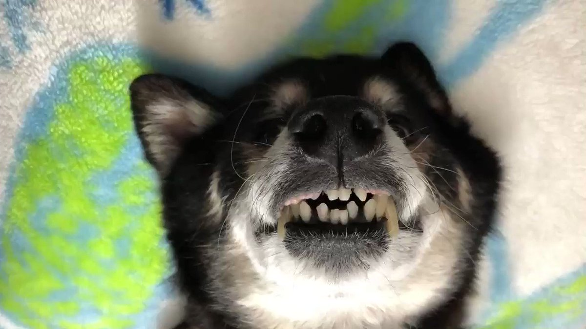 このような姿勢で、イビキまでかいて眠る彼とは、 一度じっくりと 危機管理について 話をしたいと思っている。  #秘密結社老犬倶楽部 #犬好きさんと繋がりたい #老犬介護 #老犬あるある #dog #犬 #無防備 #寝てる #イビキpic.twitter.com/spnc5GvHF9