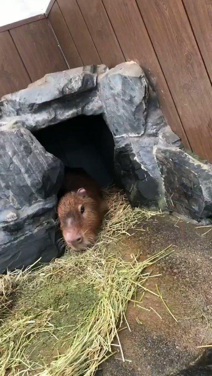 閉園後のカピバラの『ソウマ』くん お部屋の中からご飯をもぐもぐ  夜のだらだらタイム始まりですヽ(´ー`)ノ  #岩手サファリパーク もり  #カピバラ #Capybara #ソウマくん #閉園後 #晩ご飯 #お気に入りスポット #届く範囲 #のんびり #まったりpic.twitter.com/24VWeYzQFM