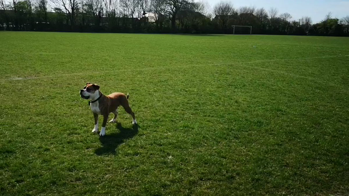 My rugby playing dog! #rugby #DogsofTwittter