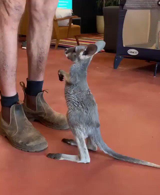 Un petit bout de douceur dans votre journée 💕 #animaux Crédit Vidéo IG : Thekangaroosanctuary