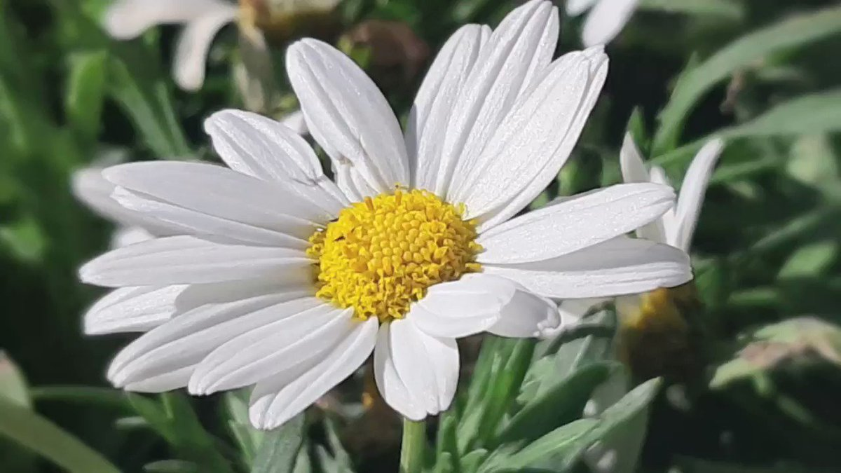 spring          white daisies               & whistling           happy weekend                   second quarantine                        #spring #StayAtHome #GoodVibes pic.twitter.com/fXC8GtRxFt