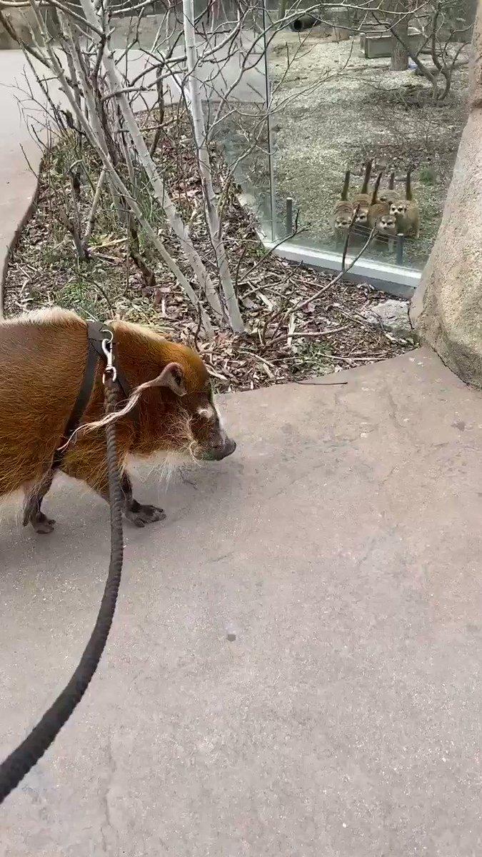 「ミーアキャットがブタと出会う」The Meerkats meet Sir Francis Baconミーアキャットが興味津々で可愛い。休園中のシンシナティ動植物園での光景。アメリカでは二番目に古い動物園なんだそう。サイト・FBは下記リンク。