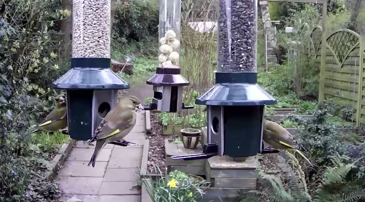 Check out my feeder cam this morning! The greenfinches are hungry! 😁
