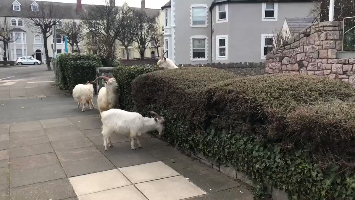 Goat update: they're back, and they're gathering in groups of more than 2 🐐