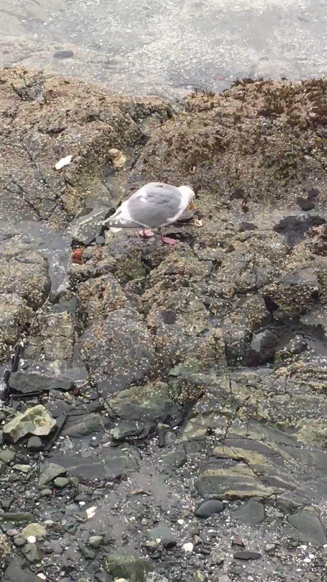 Seafood for breakfast!  #crab #seagull #yyj #vanisle #westcoast #innerharbour #salishseapic.twitter.com/1s0yy1BmNX