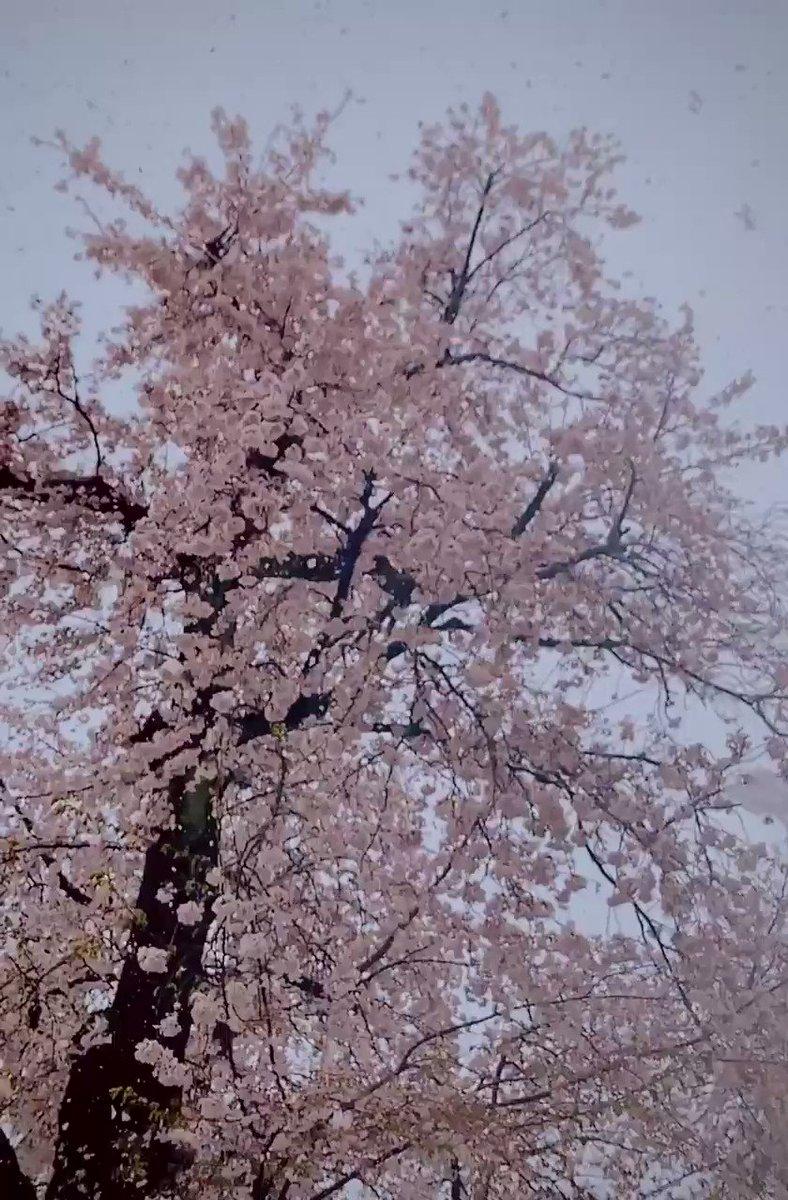 なかなか見ることができない満開の桜と大粒な雪をスローでご堪能ください!雪が花びらみたいで素敵じゃないですか?