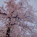 【雪が花びらのよう】満開の桜に降り注ぐ、大粒の雪が美しい!