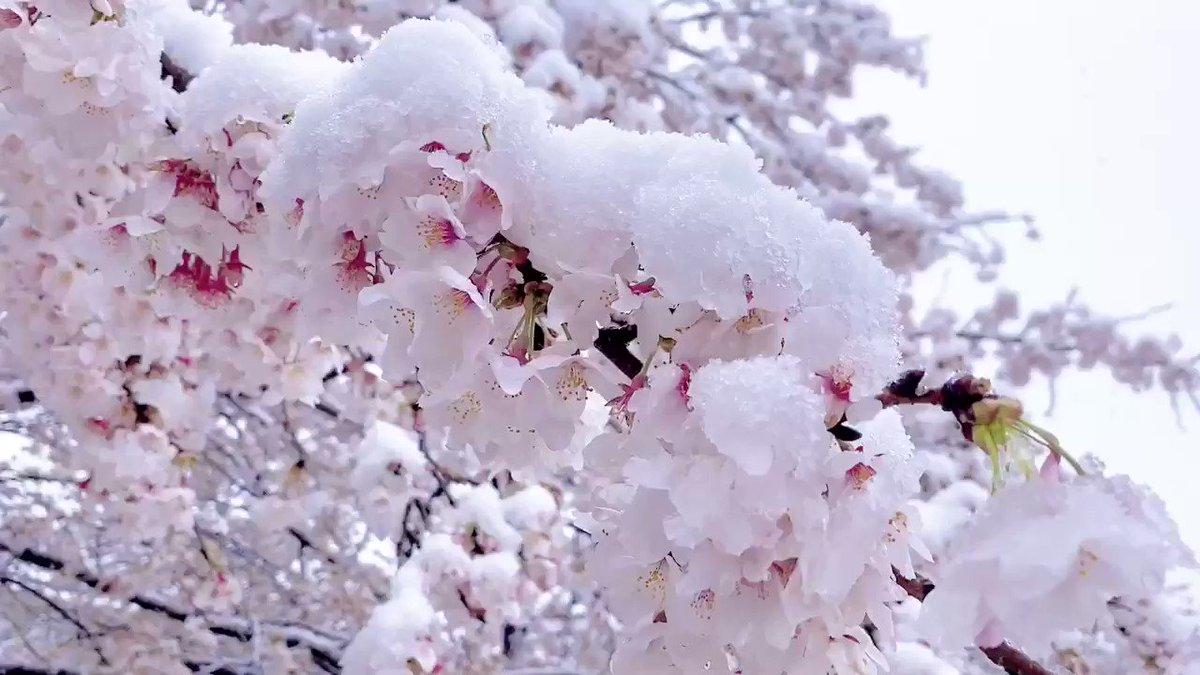 雪桜!❄🌸