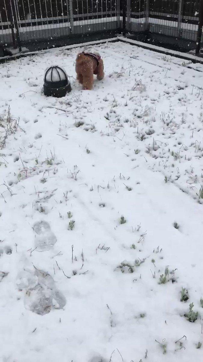 's Media: Happy Sunday walking in fresh snow❄️❄️❄️ stay safe.  #トイプードル #ToyPoodle  #snow  #犬のいる暮らし  #犬大好き #il