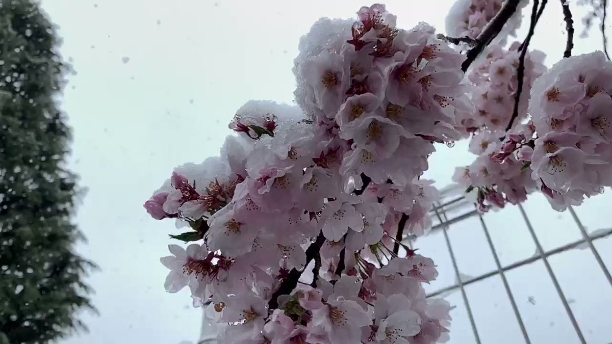 #Snow and #Sakura... I didn't expect snow  in #Tokyo at the end of March. pic.twitter.com/ueAreR2Tcp