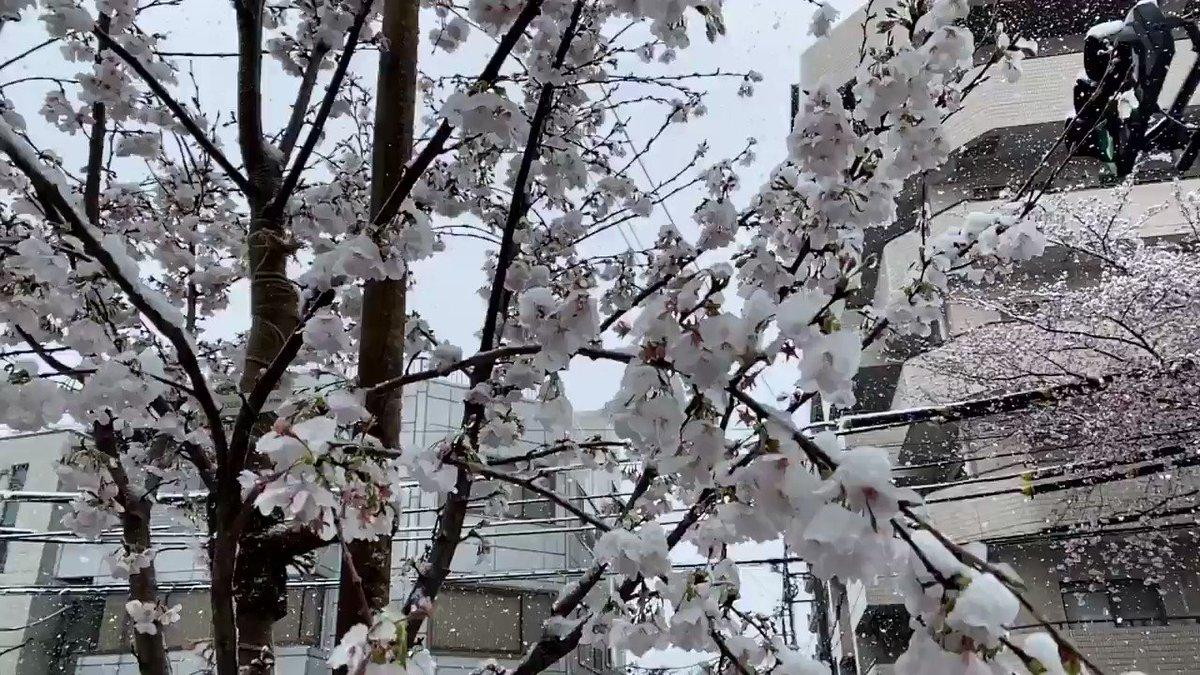 #雪桜スロー撮影やってみた😆