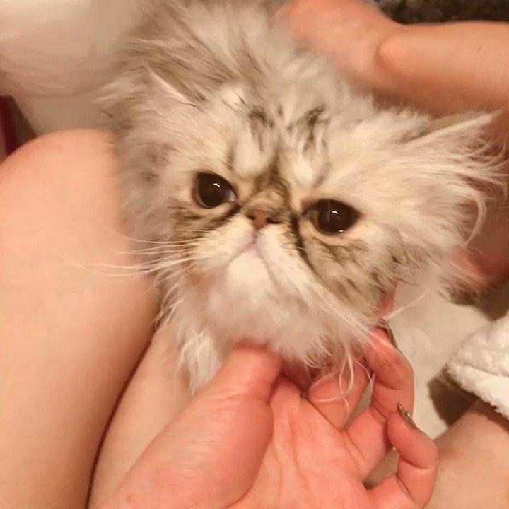 ドライヤー気持ちよさそうなもちゃさん  #エキゾチック #猫好きさんと繋がりたい  #お風呂あがり #ドライヤー #YouTube  #子猫のいる暮らしpic.twitter.com/BJfoQrN5Io