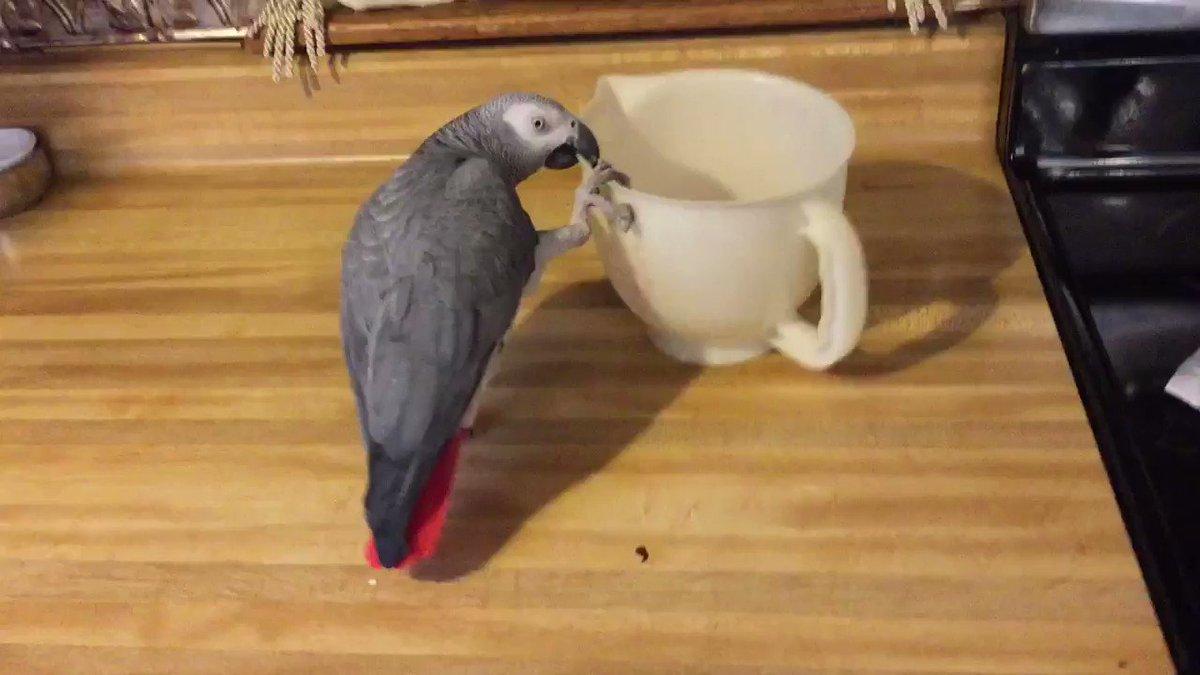 Grey loves to play #africangrey #parrot #parrots #bird #birds #birb #pet #petspic.twitter.com/PIXP6HlbHw
