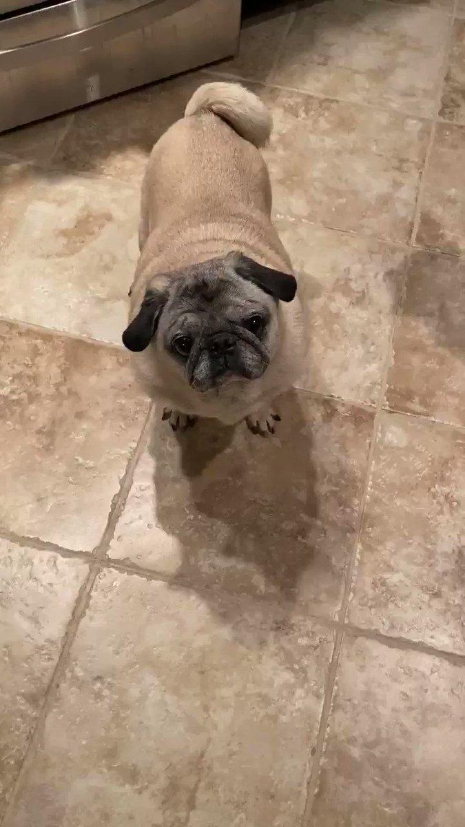Yay poppy is home from work!!! He better have brought me something... or else... Happy Sunday everybody! #SundayThoughts #SundayMotivation #SundayFunday #pug #pugs #dog #dogs #DogsofTwittter #dogsofquarantine #dogsofinstagram #lulunaticspic.twitter.com/WGKllaE2iN