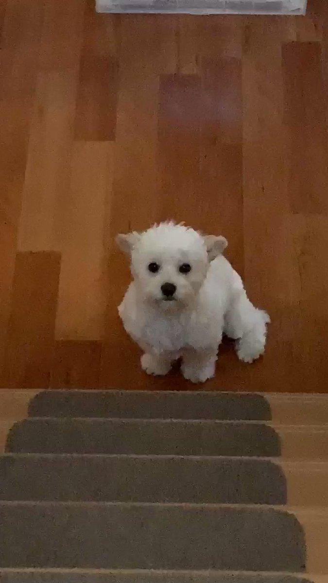 登っておいで〜って呼んだら 階段下で固まってるちょこ #チワプー #犬好きな人と繋がりたい #犬のいる生活 #犬好きpic.twitter.com/lAXWfNRTh1