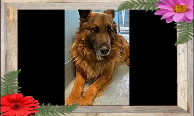 #EUTH LISTED   TO BE KILLED #ANY #DAY URGENT!  BALDWIN PARK  SHELTER  DOGS #CALIFORNIA  PLS SHARE! #ADOPT #FOSTER #RESCUE #PLEDGE   WESSEL- #A5356209 Germ Shep (M) 5yrs  This Boy Needs out So He Can Experience Love & A Family.    Morepic.twitter.com/NTgKQK6X1Q